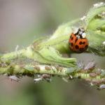 Hymenoptera_DR